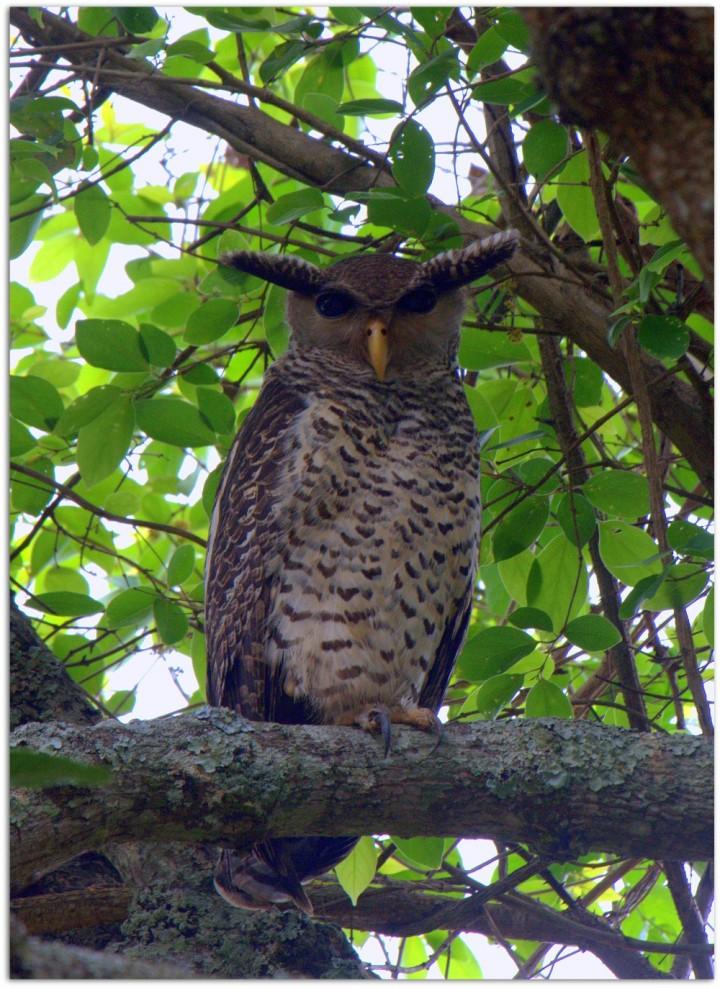 Spot-bellied_Eagle-Owl_by_N.A._Nazeer